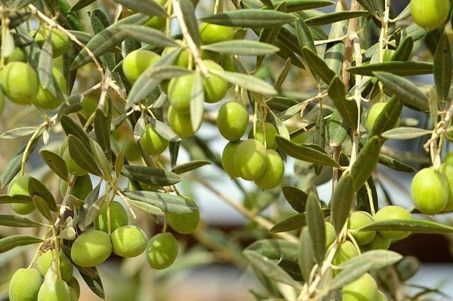 Ministero Politiche Agricole olive